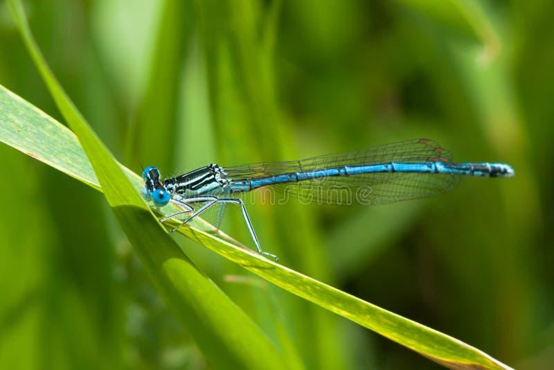 Azuurblauwe Damselfly stock afbeelding