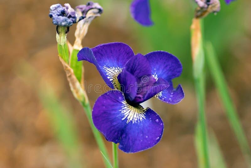 Azuurblauwe lillies in dichte omhooggaande stijl, zachte nadruk stock fotografie