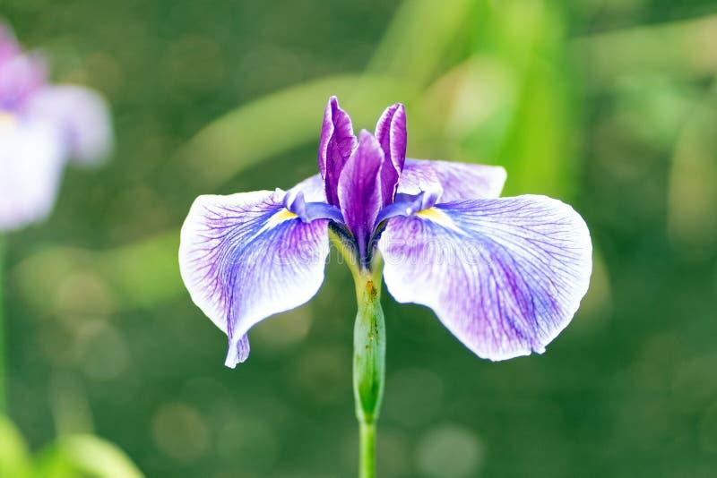 Azuurblauwe lillies in dichte omhooggaande stijl, zachte nadruk royalty-vrije stock afbeeldingen