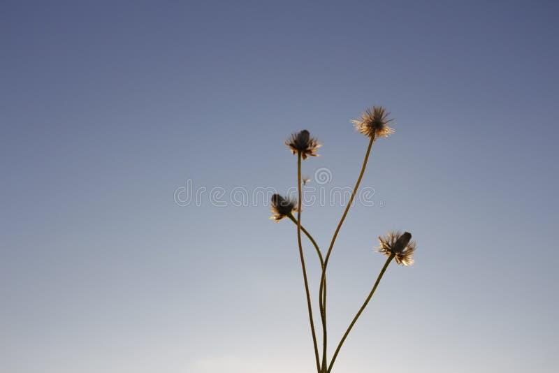 Azzurri del fiore fotografia stock