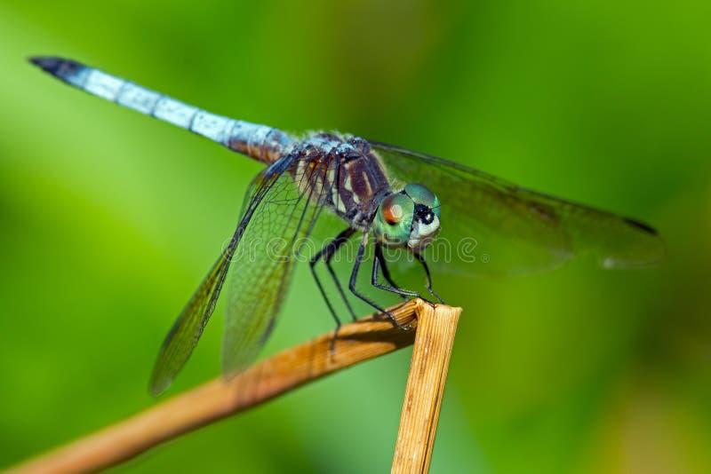 Azzurro Dasher della libellula immagine stock libera da diritti