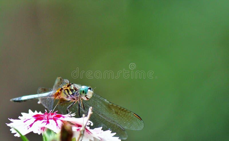 Azzurro Dasher della libellula fotografia stock libera da diritti
