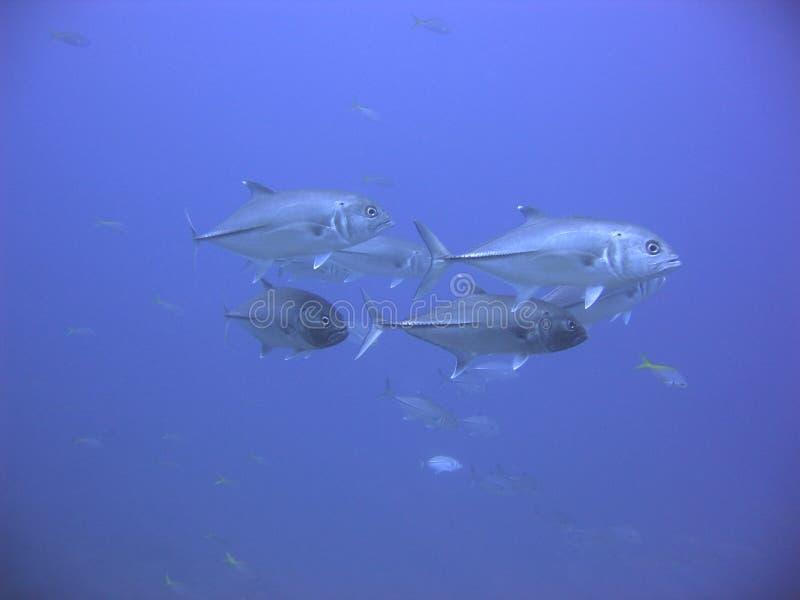 Download Azzurro del Jackfish fotografia stock. Immagine di subacqueo - 217274