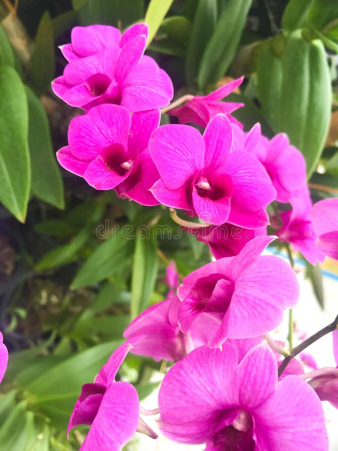 Bฺeautiful紫色兰花植物Aeridinae兰花花 库存图片