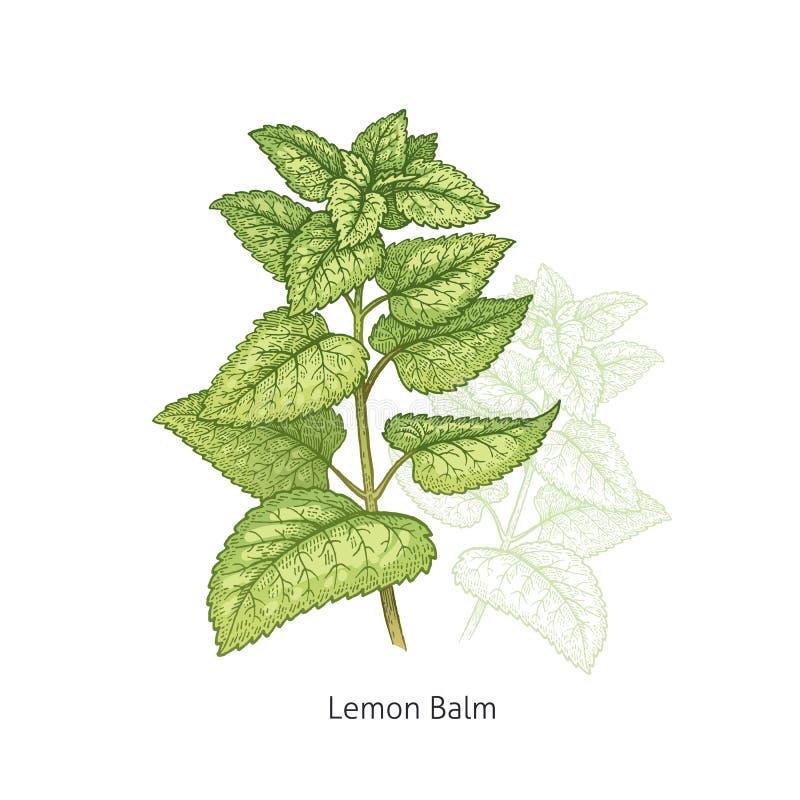 Bálsamo de limón médico de la planta ilustración del vector