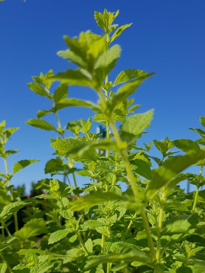 Bálsamo de limón y cielo azul brillante Planta común del bálsamo fotos de archivo
