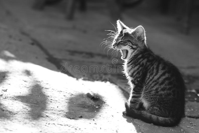 Bâillement de chat en noir et blanc photo stock