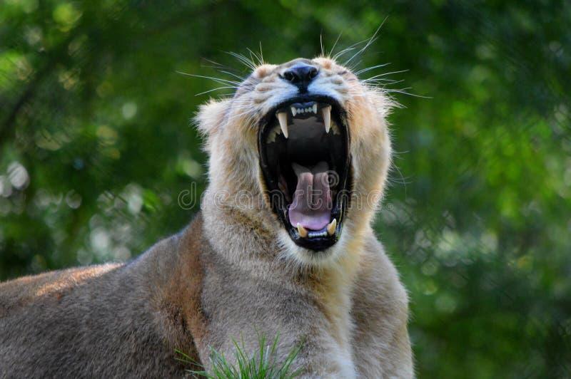 Bâillement de lionne Zoo de Paignton photos stock