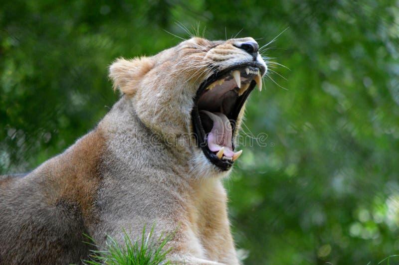 Bâillement de lionne de zoo de Paignton images stock