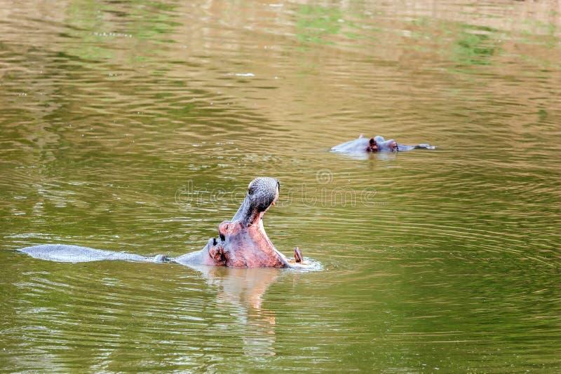 Bâillements énormes de béhémoth dans l'eau photo libre de droits