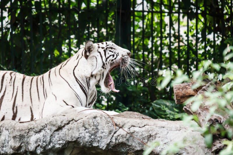 Bâillements blancs de tigre photographie stock libre de droits