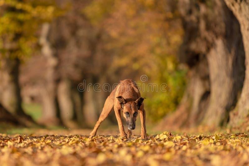 Bâtard de Rhodesian Ridgeback Le vieux chien fonctionne par une avenue d'arbre dans les bois photos stock