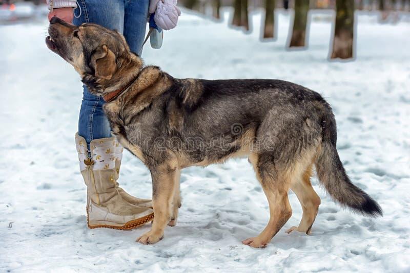 bâtard métis brun de chien aux pieds de l'hôtesse pendant l'hiver pour une promenade images libres de droits