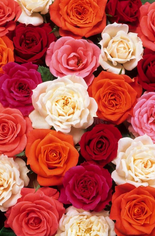Bâti des roses image libre de droits