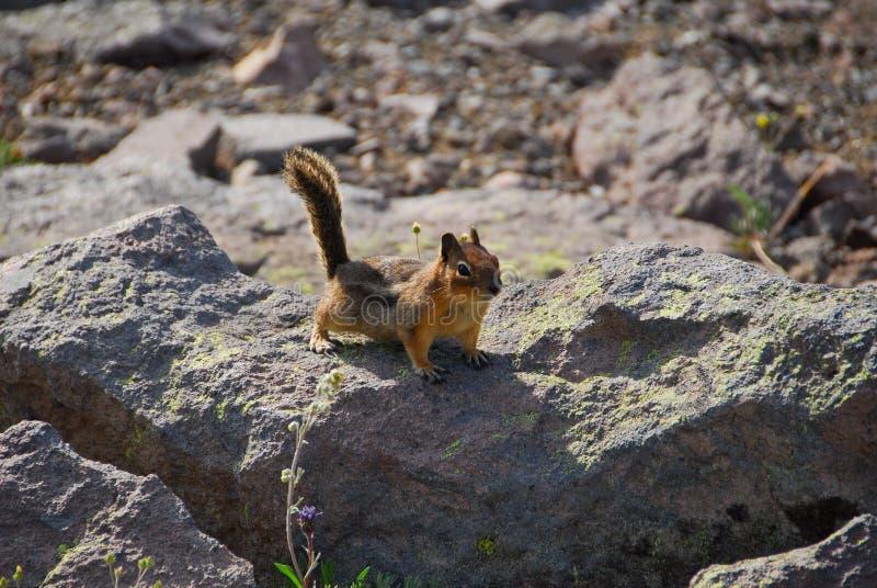 Bâti Rainier Ground Squirrel photographie stock libre de droits