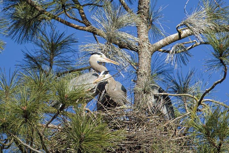 Bâtiment de nid avec les hérons photos libres de droits