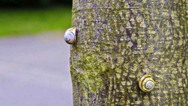 Bâton de deux escargots sur un tronc photographie stock libre de droits
