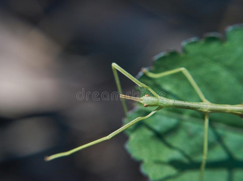 Bâton Insect&#x28 ; Phasmatodea&#x29 ; sur la feuille - atteignant  image libre de droits