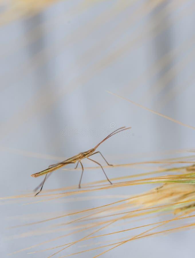 Bâton-insecte sur l'épi de grain de blé images stock