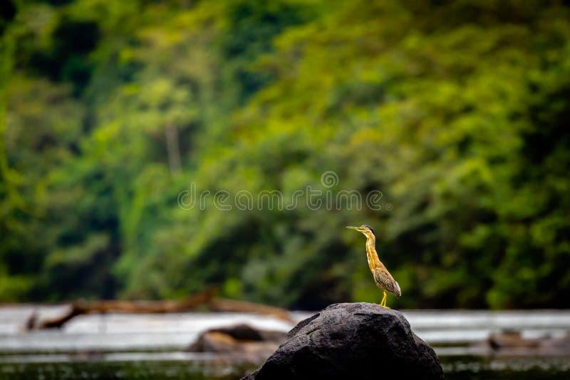 Bąk w Surinam zdjęcia royalty free