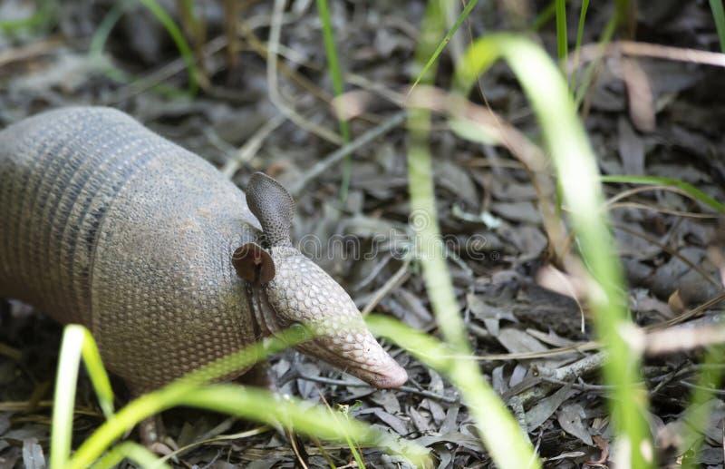 Bältdjur som söker efter föda i skog royaltyfria bilder