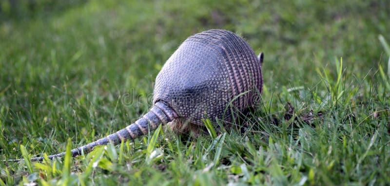 Bältdjur som söker för mat i fältet arkivfoto
