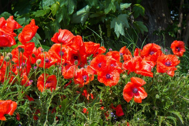 Bänk- och vallmoblommor i en trädgård fotografering för bildbyråer