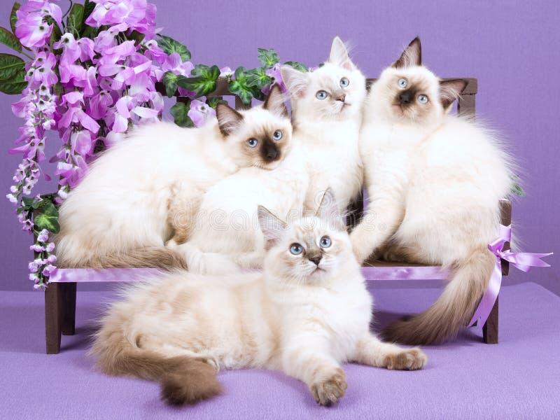 bänken blommar kattungeminiragdoll royaltyfri foto