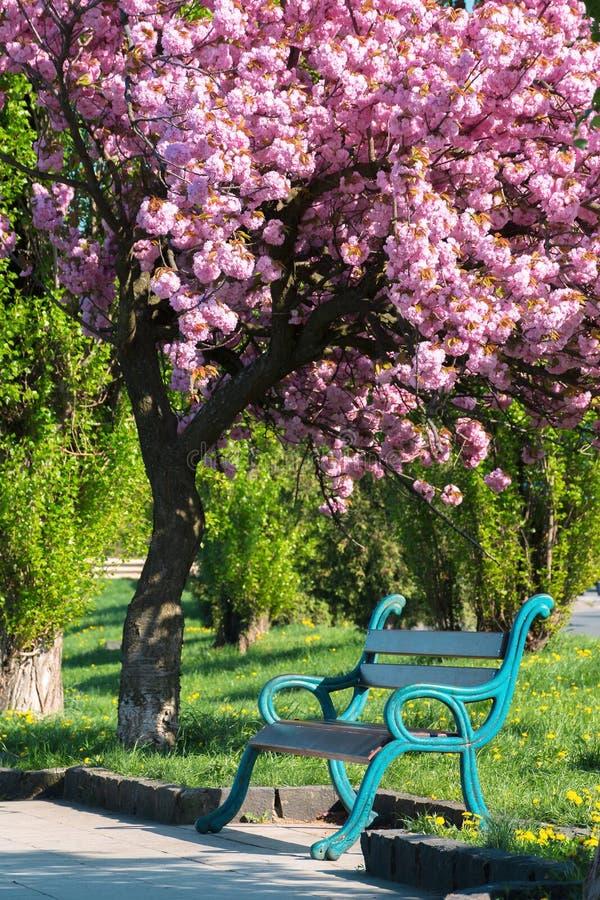 Bänken under det blomstra cheryträdet i parkerar arkivfoton