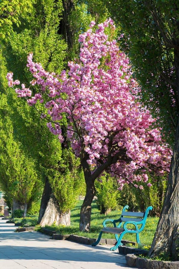 Bänken under det sakura trädet i parkerar fotografering för bildbyråer
