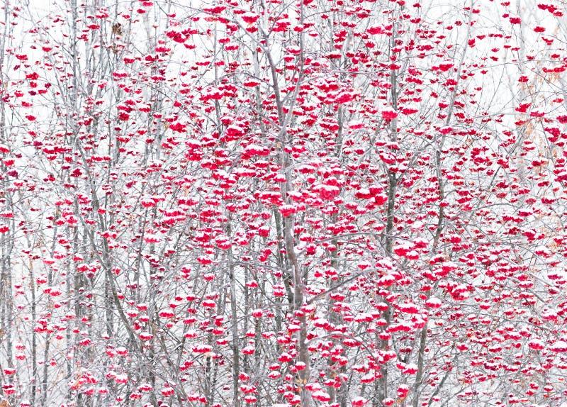 Bär av bergaskaen i en vinter parkerar royaltyfria foton