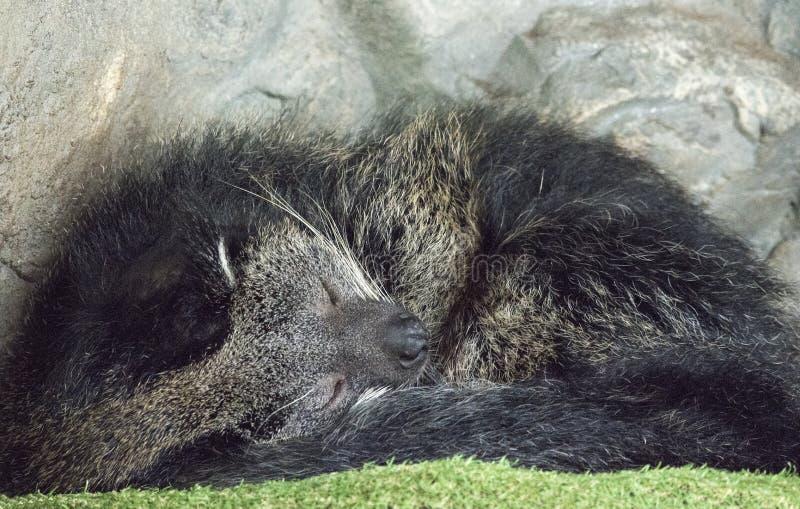 Bär Cat Binturong lizenzfreie stockfotografie