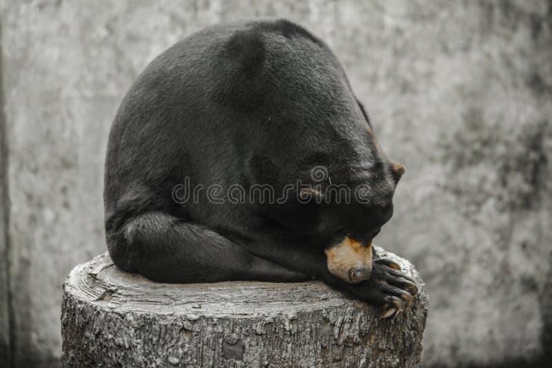 Bär, der auf einem Protokoll schläft stockbilder