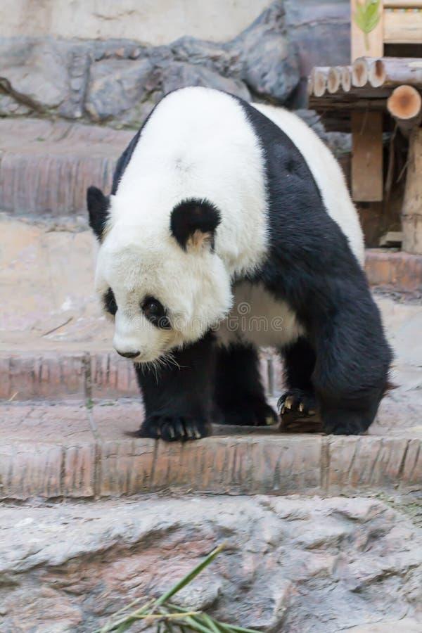 Bär des riesigen Pandas lizenzfreie stockfotografie