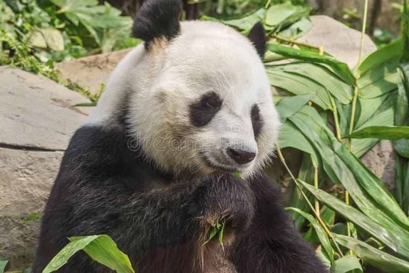Bär des riesigen Pandas lizenzfreies stockbild