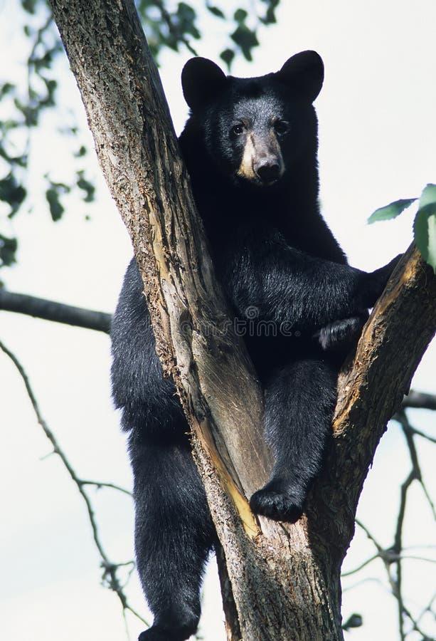 Bär in einem Baum lizenzfreie stockbilder