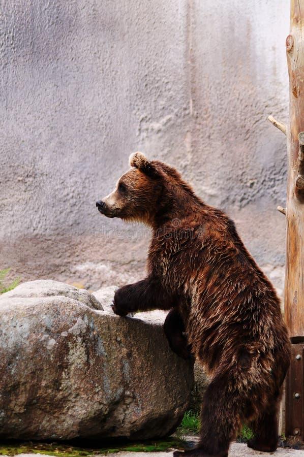Bär in einem Zoo lizenzfreie stockfotografie