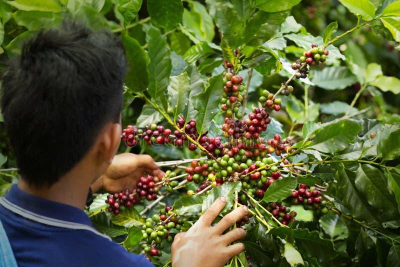 Bär för kaffe för arbetarskördarabica på dess filial, jordbruk royaltyfria foton