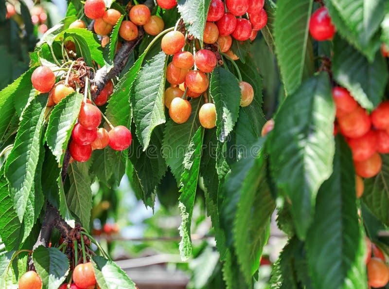 Bär för söt körsbär på filialer i trädgård royaltyfri fotografi