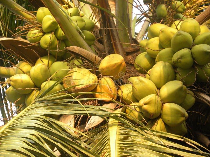 Bär frukt den omogna kokosnöten för gul och grön färg på träd arkivfoton