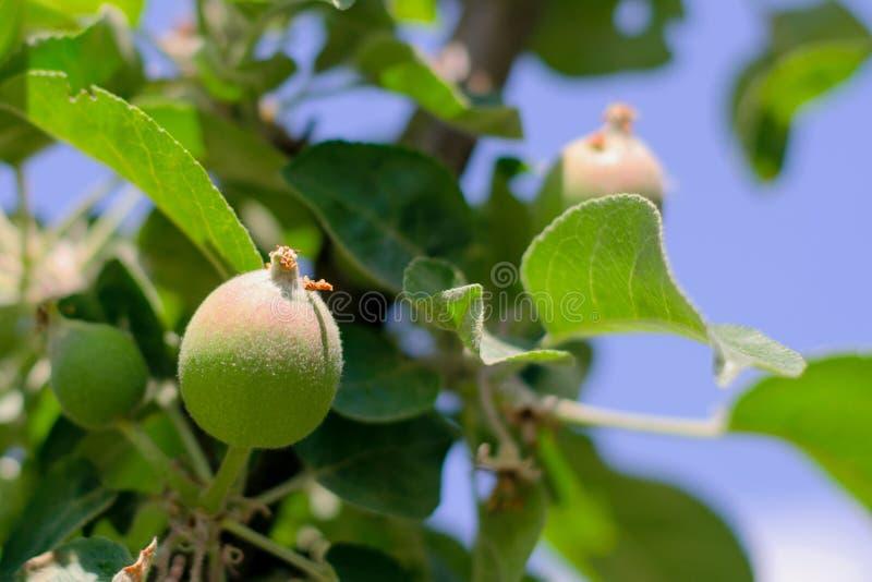 Bär frukt det gröna äpplet för omoget barn mellan sidor på filialen, royaltyfri fotografi