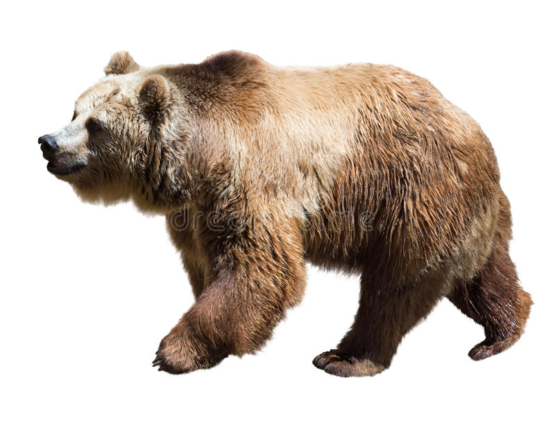 Bär Lokalisiert über Weiß stockfoto