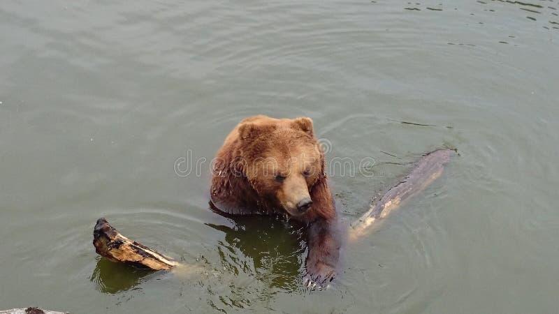 Bär mit Holz lizenzfreies stockfoto