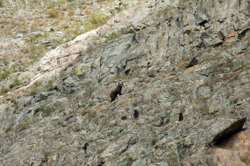 Bär mit Jungen auf den Felsen stockfotos