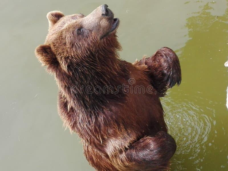 Bär neeed& x27; s-Freiheit lizenzfreies stockfoto