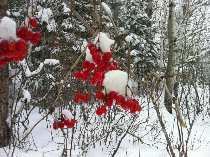 Bär på vintern, stag i trädet royaltyfria bilder