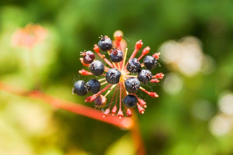 Bär som står ut ur en grön buske royaltyfri foto