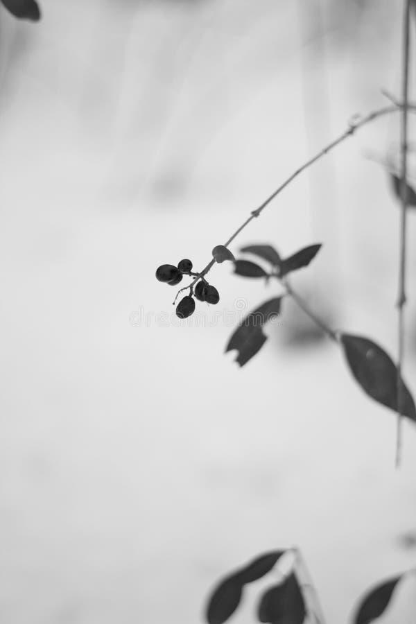 Bär under snön, knådat bär arkivbild