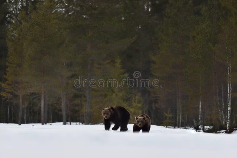 Bär zwei, der auf Schnee nach Winterschlaf geht stockbild