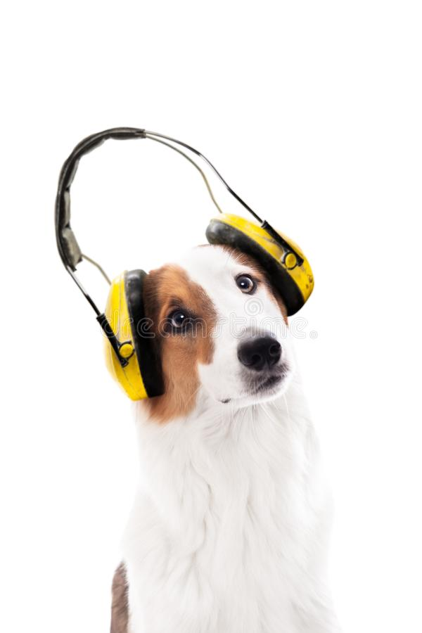 Bärande öraskydd för hund, isolerad fenaframdel av vit arkivbild